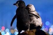 ببینید | عاشقانه زوج پنگوئن که جهانی شد