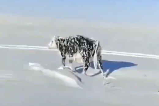 ببینید | گاوی که در اثر شدت سرما ایستاده یخ زد!