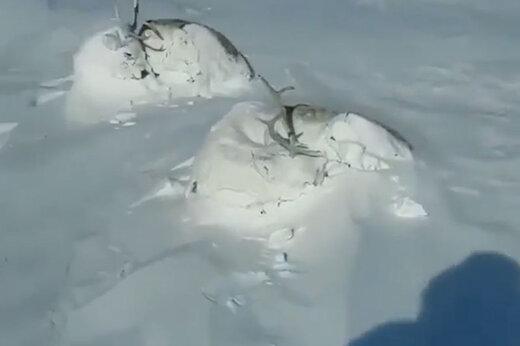 ببینید | تصاویر زیبا از خواب گوزنها زیر برفهای ارتفاعات دنا