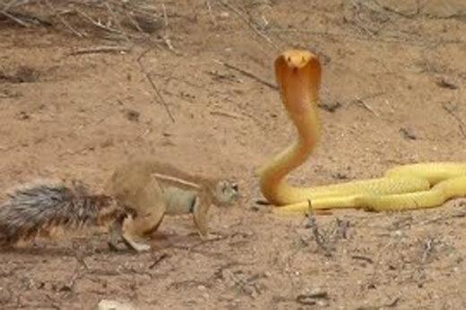 ببینید | مبارزه جانانه و خیرکننده سنجاب ماده با مار کبری