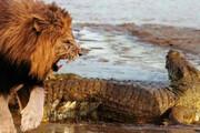 ببینید | لحظه دلهرهآور حمله و شکار تمساح توسط شیر