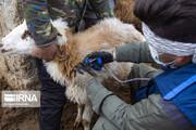 تصاویر | واکسیناسیون دامها در طرح مقابله با تب برفکی