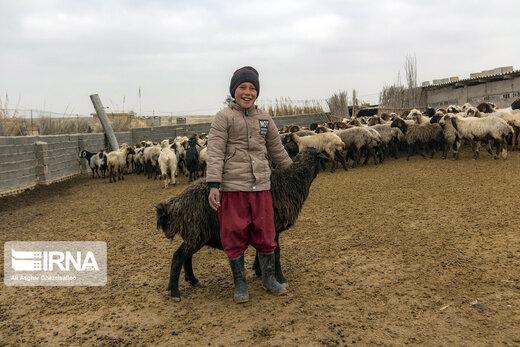 واکسیناسیون دام ها در طرح مقابله با تب برفکی