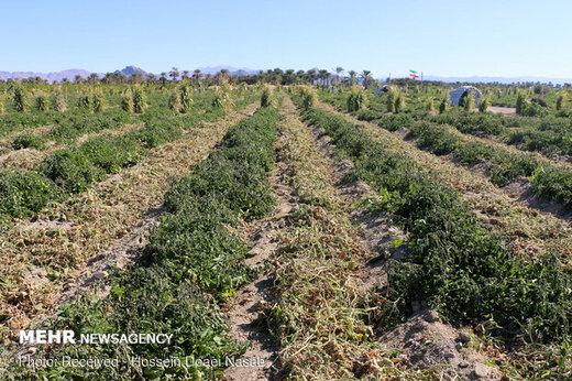احتمال سرمازدگی محصولات کشاورزی در هرمزگان