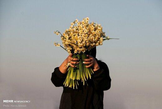 برداشت گل نرگس در جویبار