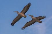ببینید | تصاویر دیدنی از پرواز پلیکانهای خاکستری بر فراز بهشت پرندگان