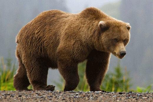 ببینید | حرکت عجیب یک خرس پس از آزادسازی در طبیعت