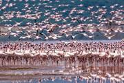 ببینید | تصاویری زیبا و خیره کننده از پرواز فلامینگوها