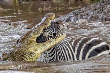 ببینید | لحظه شکستن گردن گورخر توسط تمساح