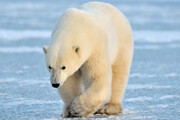 ببینید | تلفیق لذت و دلهره؛ لحظه غذا دادن به خرس قطبی از پنجره خانه