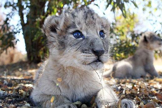 ببینید | تصاویری از یک بچه شیر که از طریق لقاح مصنوعی به دنیا آمد