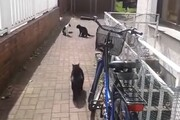 ببینید | دفاع جانانه یک گربه از خواهرش در مقابل یه مزاحم قلدر