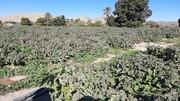 خسارت ۲۴۰۰میلیارد ریالی تگرگ و سرما به کشاورزی ارومیه