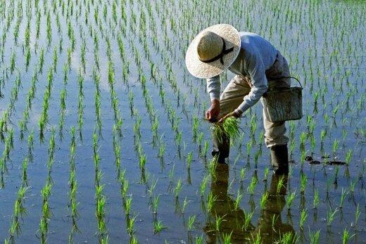 لغو ممنوعیت کشت برنج در سال آینده