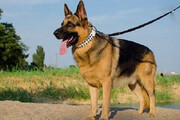 ببینید | سگی که دزدها را غافلگیر کرد و مانع سرقت شد