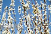 تصاویر | زمستانی که بهار شد؛ قابهایی تماشایی از شکوفههای درختان آلوچه