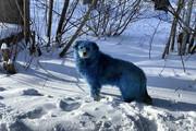 ببینید | عجیب اما واقعی؛ سگهای آبی رنگ در نزدیکی شهر دزرژینسک روسیه