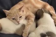 ببینید | ویدیویی باورنکردنی از گربهای که در حق چندین توله سگ مادری میکند