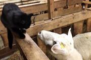 ببینید | انتقام تلخ و در عین حال خندهدار یک گوسفند از گربهای عصبی