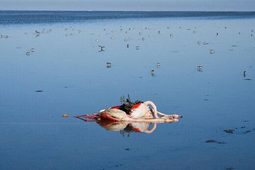ادامه جمعآوری لاشه پرندگان وحشی در خلیج گرگان