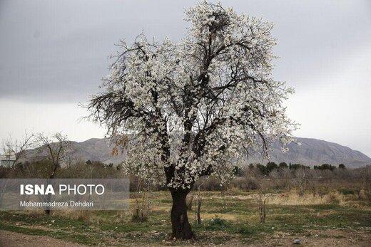 رویش زود هنگام شکوفهها در شهر راز