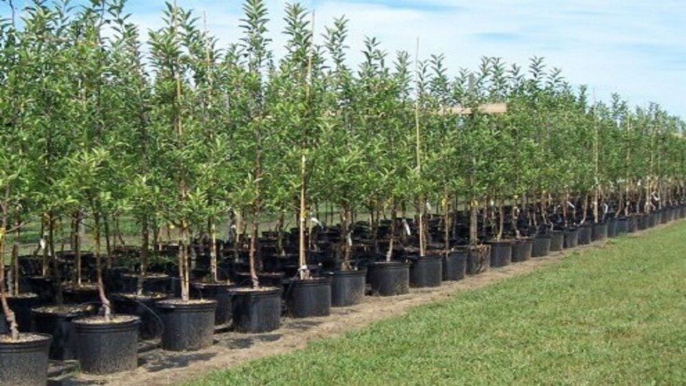 ۴۰۰ هزار اصله نهال برای درختکاری در استان سمنان آماده توزیع است - خبرآنلاین