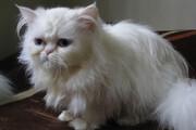 ببینید | ویدیویی خندهدار از یک گربه اصیل ایرانی با حساسیت و نفرتی ویژه