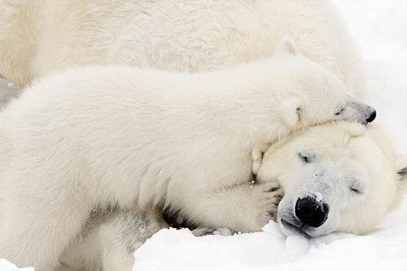 5534479 - ببینید   سورپرایز خندهدار خرس قطبی توسط یک فک دریایی