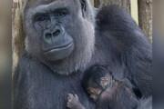 عکس | تولد اولین بچه گوریل در باغوحش برلین بعد از ۱۶ سال