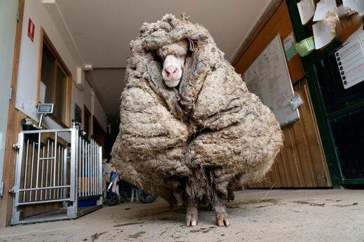 ببینید | گوسفندی در جنگل با 34 کیلو پشم