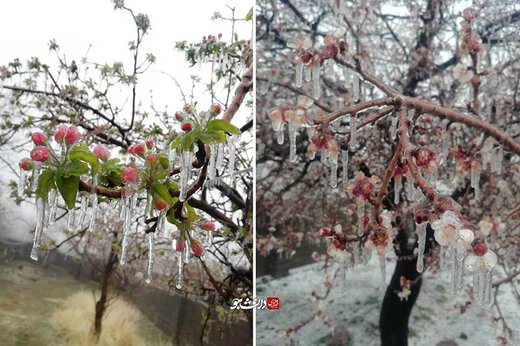 ببینید | سرمازدگی بیسابقه شکوفههای درختان در کرمان