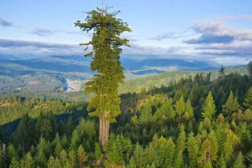ببینید | بلندترین درخت دنیا در شمال کالیفرنیا