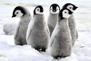 ببینید | تاکتیک دفاعی خیرهکننده بچه پنگوئنها در مقابل مهاجمی بیرحم