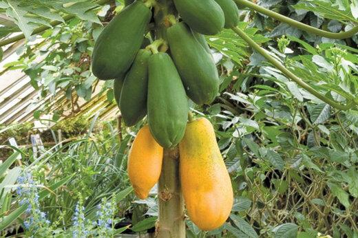 ببینید | کشت میوههای لوکس هاوایی در ایران