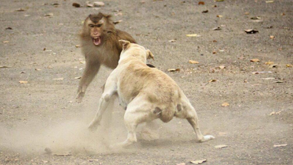 ببینید | دعوای وحشیانه یک میمون با سگ بر سر یک لقمه غذا