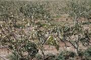 خسارت سرما به درختان میوه در شهرستان مشهد