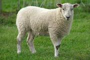 ببینید | «گوسفند فوتبالیست»؛ سوژه داغ شبکههای اجتماعی