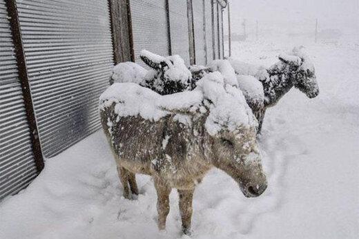 ببینید | حیوانات در سرمای کشنده قزاقستان یخ زدند