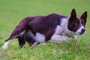 ببینید | تصاویری دیدنی از یک سگ برای مدیریت کردن گله گاوها