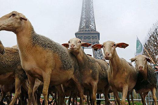 ببینید | اعتراض عجیب و جنجالی دامداران فرانسوی به سیاستهای ناعادلانه