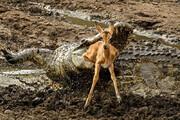 ببینید | لحظه غمانگیز شکار غافلگیرانه بچه آهو توسط دو کروکودیل
