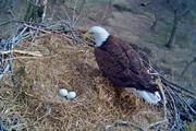 ببینید | فیلمی حیرتانگیز از مراقبت عقاب مادر از تخمهایش در روز برفی