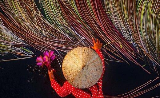 فصل برداشت نیلوفر آبی در ویتنام