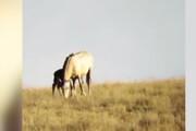 ببینید | حمله ناموفق پلنگ به کره اسب تازه متولد شده