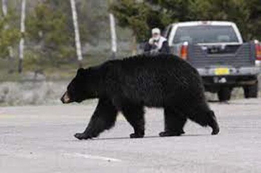 ببینید | تلاش قابل تحسین خرس سیاه مادر برای عبور دادن بچه های بازیگوشش