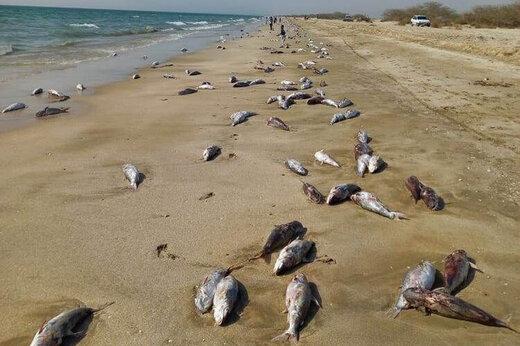 ببینید | تلف شدن بیش از ۱۰ تن گربه ماهی در ساحل جاسک