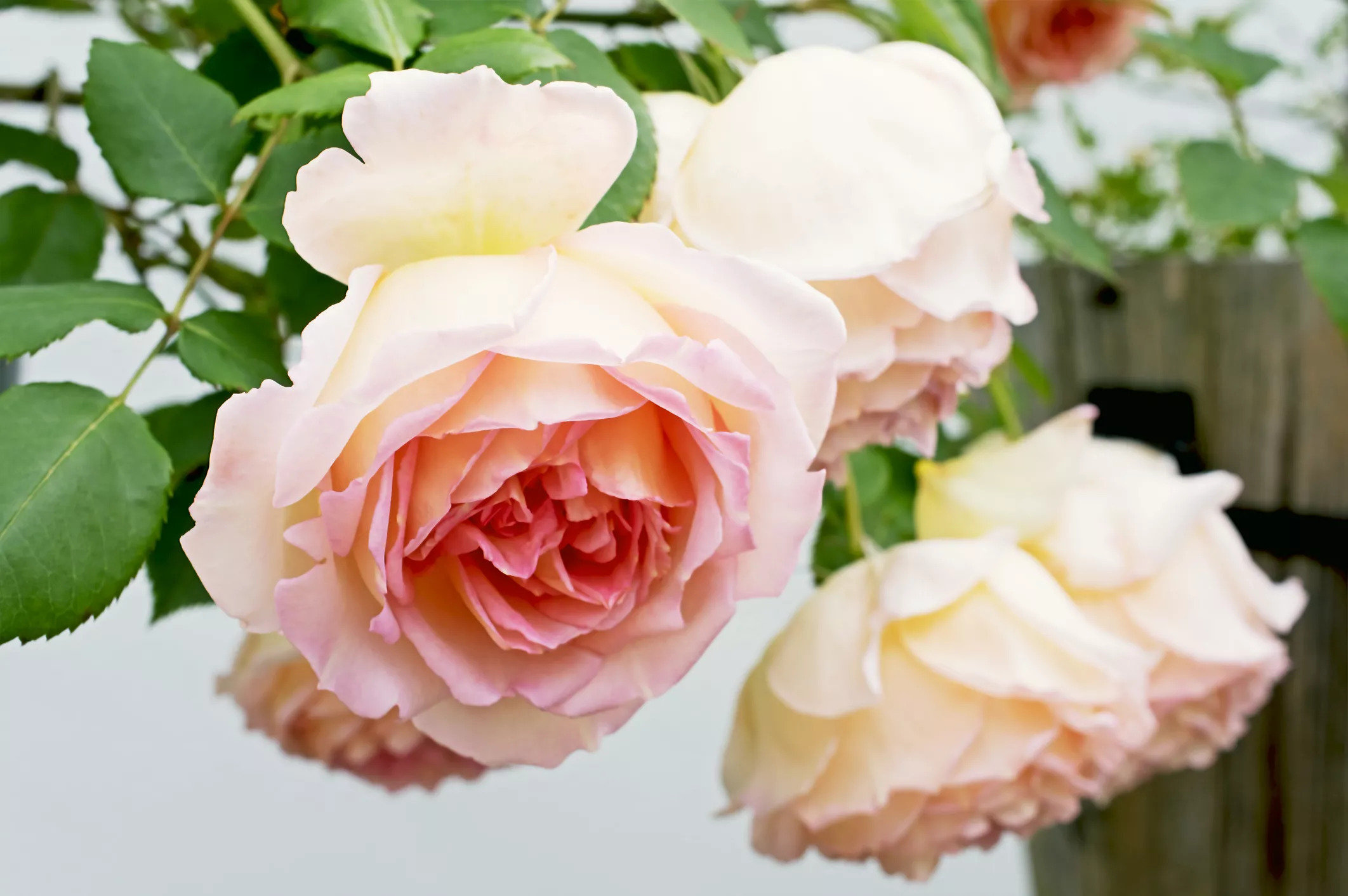 زیباترین گل های رز انگلیسی برای باغچه شما