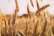 هشدار نماینده علیآباد کتول در مجلس درباره واردات ۸ میلیون تنی گندم به کشور/دولت قیمت تضمینی را افزایش دهد