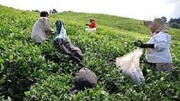 قیمت جدید خرید برگ سبز چای اعلام شد؛ چای درجه یک ۶۶۹۰ تومان