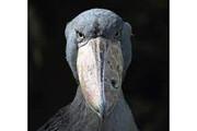 ببینید | عجیبترین و ناشناختهترین پرنده دنیا